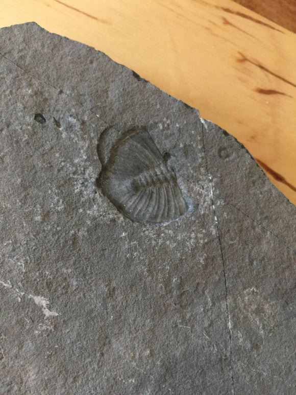 USA Cambrian Trilobite fossil in Matrix Large  No. 002