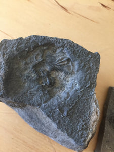 USA Cambrian Trilobite fossil lot in Matrix Small  No. 019