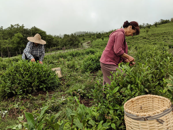 tea picking at renegade estate