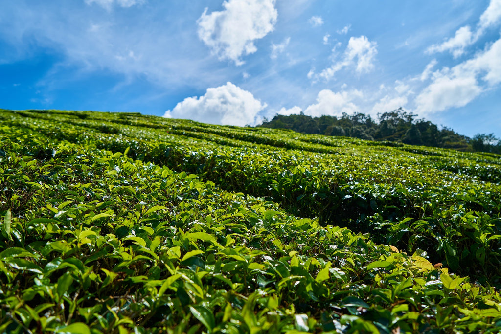 A perspective of our own Tea Estate was too good to ignore.