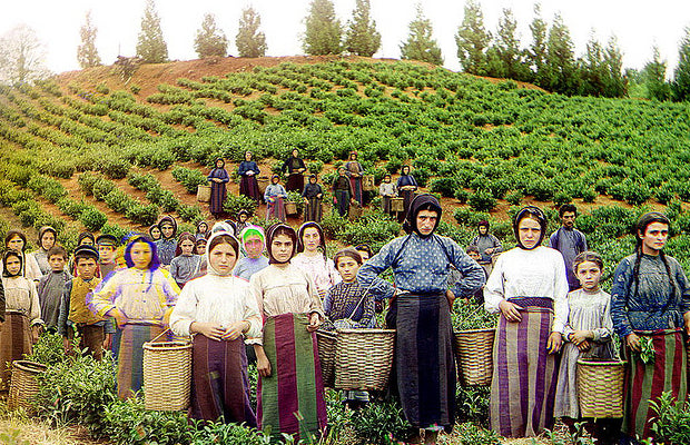 tea plantation workers in Georgia