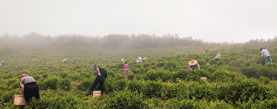 Renegade Tea Estate farm