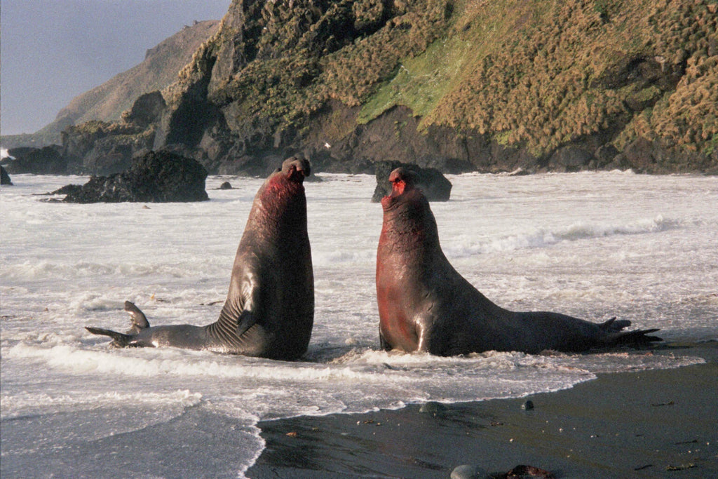 Bull elephant seals fighting over a harem of females