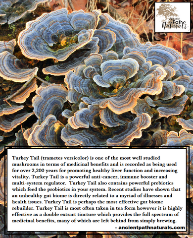 Benefits of Turkey Tail Mushroom – Ancient Path Naturals