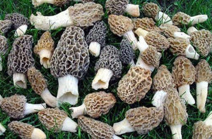 5 Pack Morel Dry Spores Outdoor Cultivation Fast & Easy Grow Kit