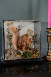 Taxidermy Squirrel in glass box