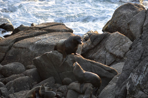 Cape Foulwind Seal Colony New Zealand
