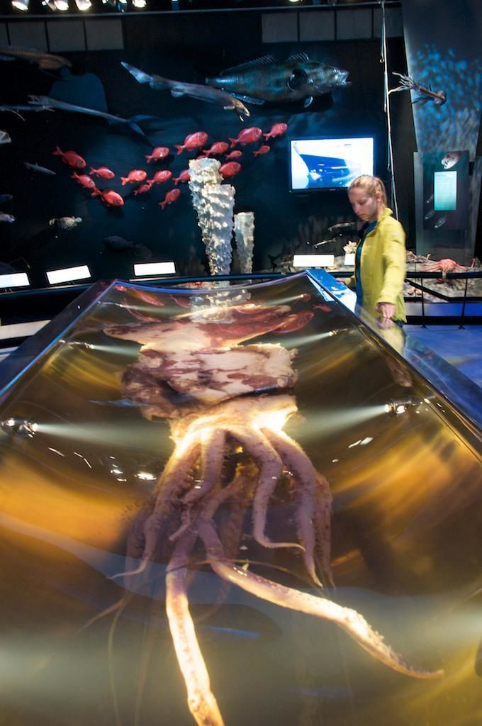 Te Papa Colossal Squid Display