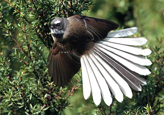 Fantail Bird of New Zealand