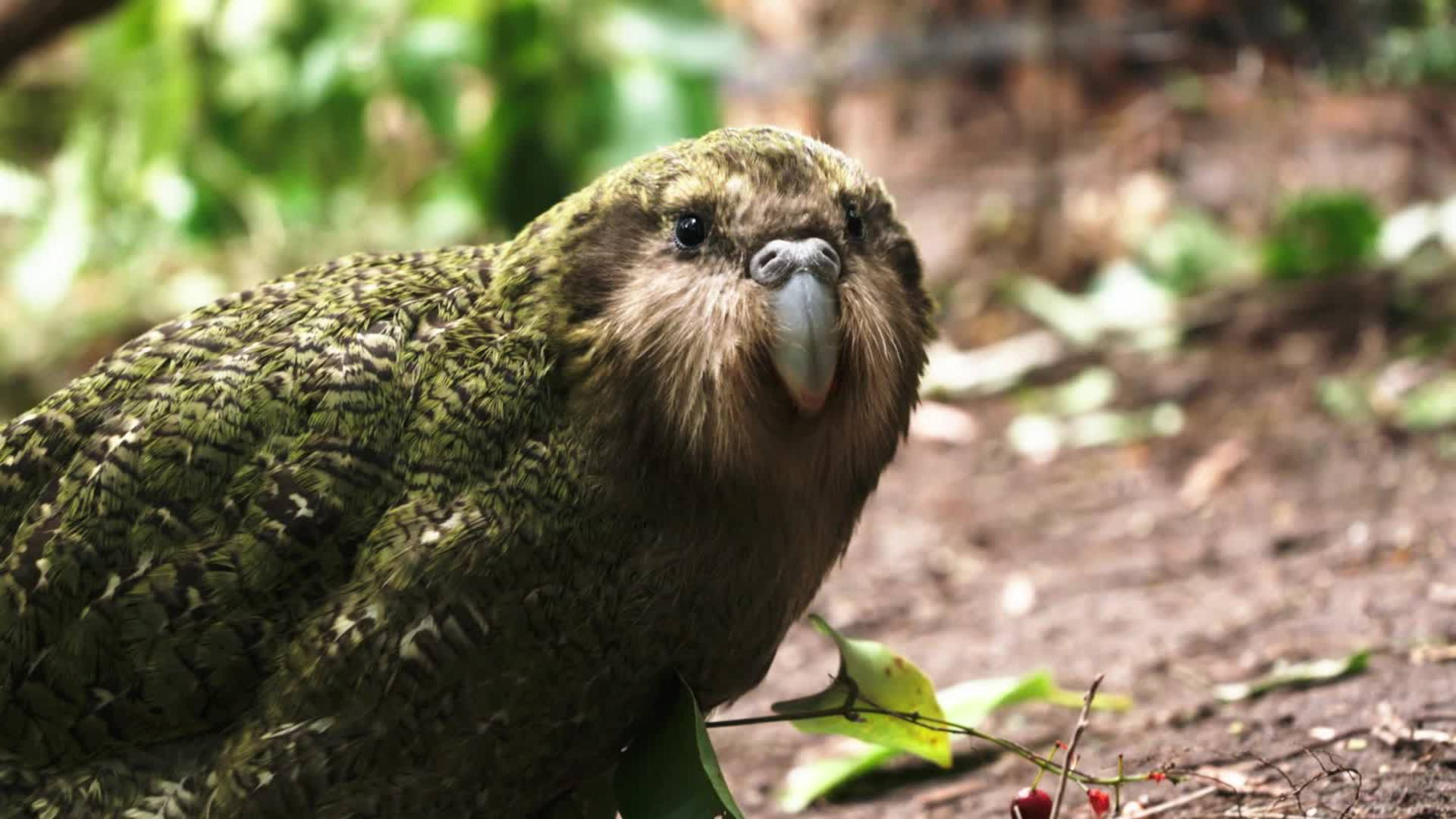 Kakapo Parrot New Zealand (Largest Parrot In The World)
