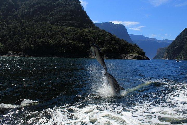Milford Sounds Dolphins