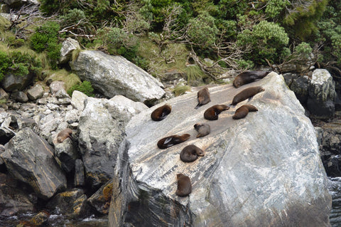Milford Sound Seal Colony New Zealand