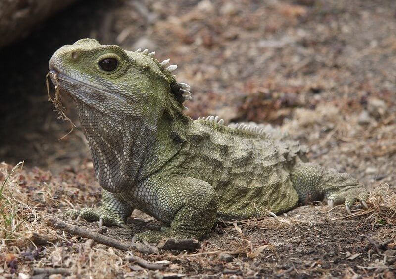 Tuatara Lizard New Zealand