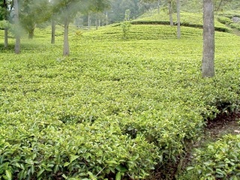 Camellia sinensis plantation with trees