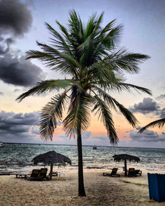 Grand Cayman Palm Tree