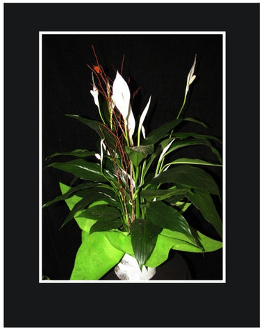 "6"" Peace Lily Plant"