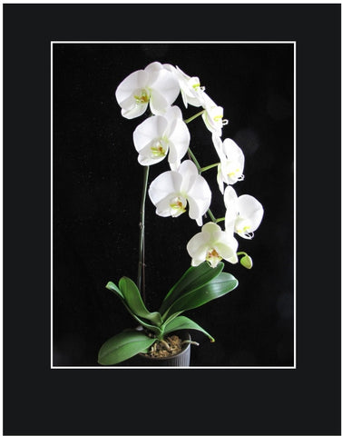 Single Stem White Orchid Plant