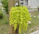 Hanging Wisteria Flowers - Plants