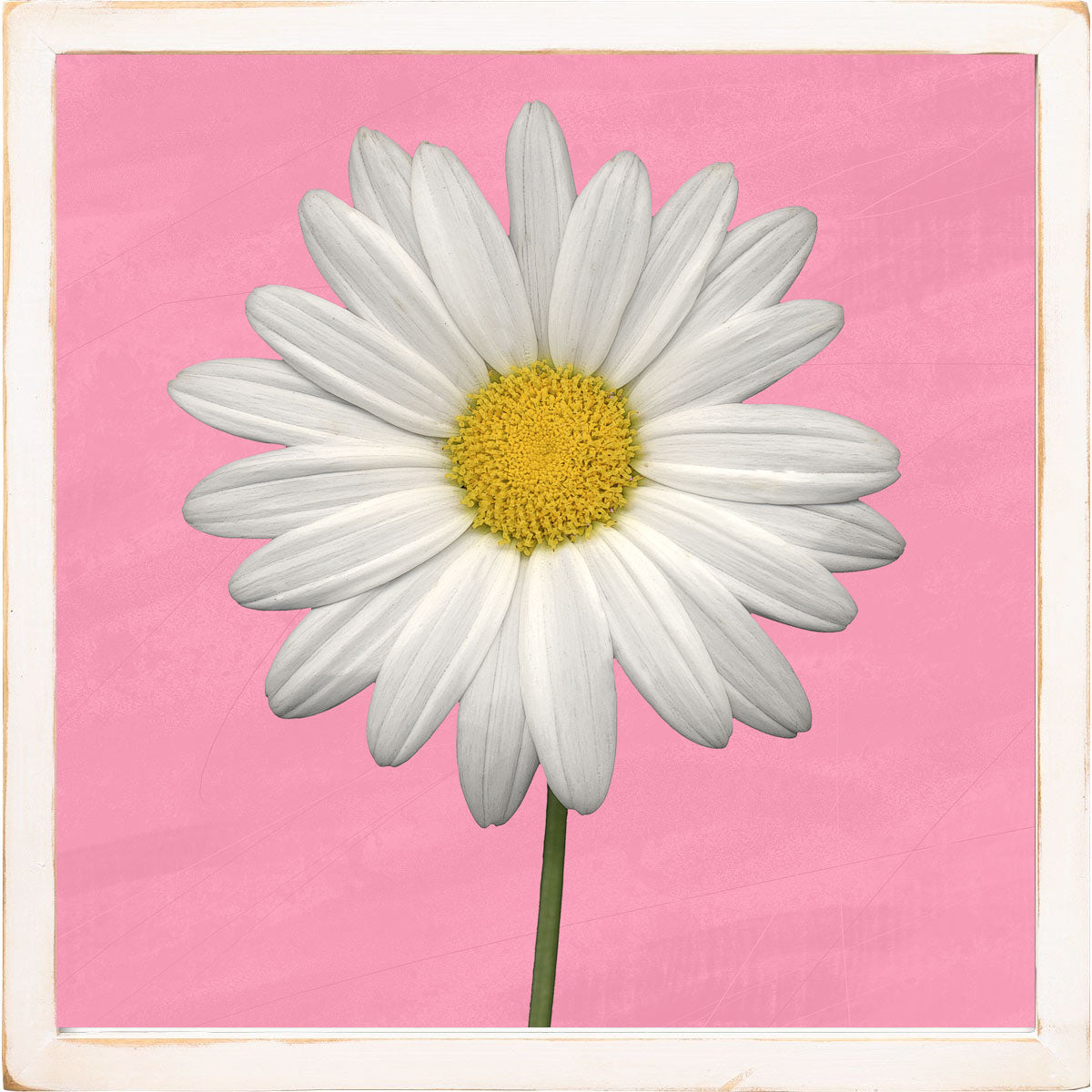 white daisy on pink with white frame jennifer o meara studio