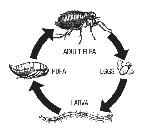 Lifecycle of a Flea Diagram