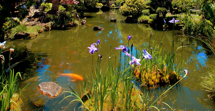 Pointers for Choosing the Right Water  Plants and Fish for Your Pond