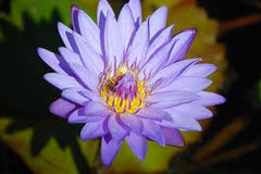 Water Lily Blue Capensis