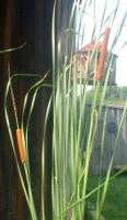 Aquatic Plant Cattail Narrow Leaf