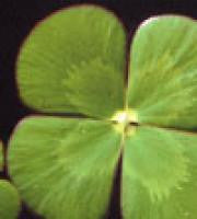 Aquatic Plant Water Clover Four Leaf