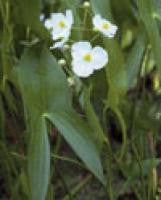 Aquatic Plant -Arrowhead