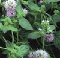 Aquatic Plant Water Mint