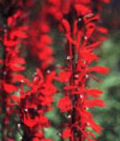 Aquatic Plant -Cardinal Flower