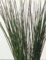 Aquatic Plant -Common Rush