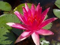 Water Lily Red Spider