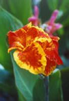 Aquatic Plant Florence Vaughn Water Canna