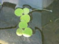 Floating Frogbit