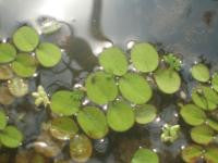 Floating Plant Salvinia