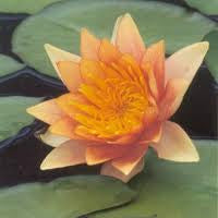 Water Lily Commanche