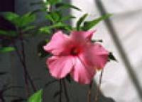 Aquatic Plant -Hibiscus Rose Mallow