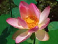 Lotus Carolina Queen