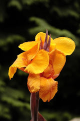 Aquatic Plant Variegated  Water Canna