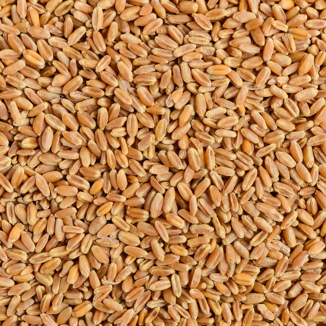 Organic Wheat Seed for Wheatgrass