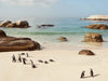 Boulders Beach Penguins, Cape Town 1, Josh Welch Photography