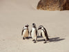 Boulders Beach Penguins, Cape Town 3, Josh Welch Photography