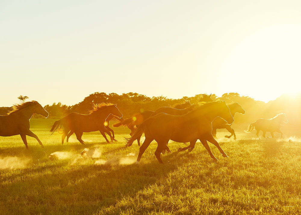 Horses at Sunset, Ranch in Texas