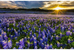 Sun Up to Sundown - Blue Bonnets Panel