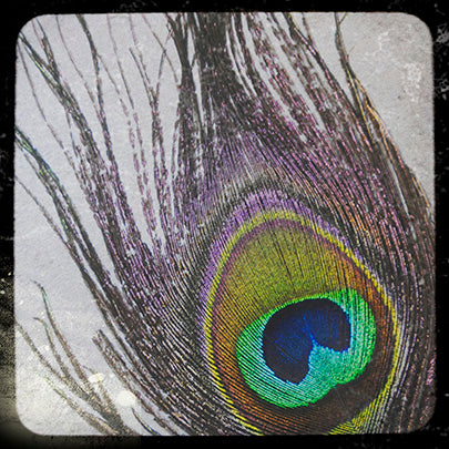 Peacock Feather TTL #2 8x8 Fine Art Photography Print