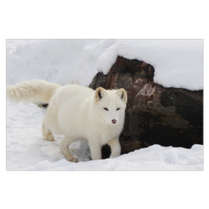 Cute Arctic Fox Canvas Wrap
