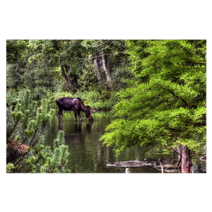 Lone Moose Drinking Water Canvas Wrap