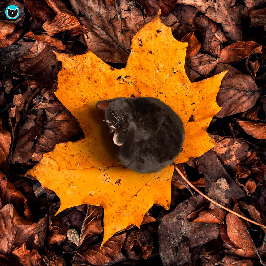 Free Felini Cat Wallpaper - Tiny Kitty Cat Curled Up On Fall Maple Leaf