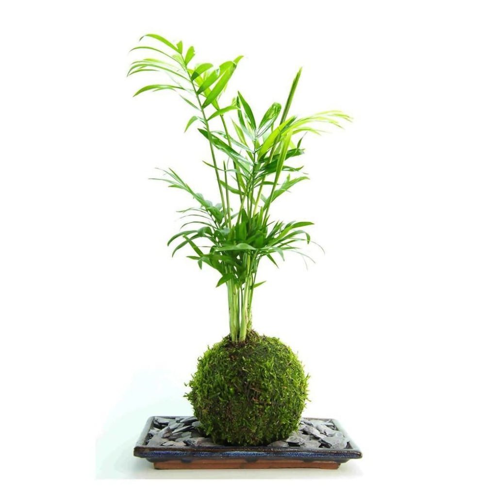 Palm Kokedama Fresh Air plant - Plant | Humble Market